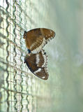 Butterflies (Great Egg-fly(Hypolimnas bolina linnaeus)) are mat Stock Photography