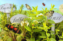 Butterflies in herb garden Stock Photo