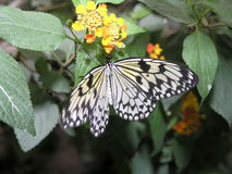 Butterflies (idea leuconoe) Royalty Free Stock Photo