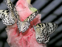 Butterflies (idea leuconoe) Royalty Free Stock Image