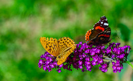 Butterflies ignore each other. Two colorful butterflies on purple flower turn away each other Stock Photo