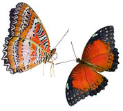 Butterflies  insect Royalty Free Stock Images