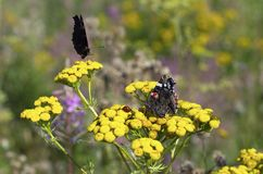 Butterflies and ladybug on yellow flowers of tansy. In summer with beautiful bokeh royalty free stock photography