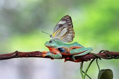Butterflies landed in the javan tree frog. A butterfly landed on the body of a frog who was cool sitting Royalty Free Stock Photo