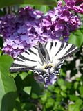 Scarce Swallowtail on ilac. Butterflies lat. Lepidoptera are the second largest order of insects, they belong to living butterflies, moths, and moths. Adults royalty free stock photo