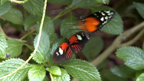 Butterflies on leaves stock video