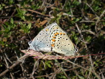 Butterflies love Stock Images