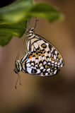 Butterflies make love Royalty Free Stock Photos