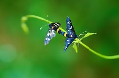 Butterflies mate Royalty Free Stock Photography