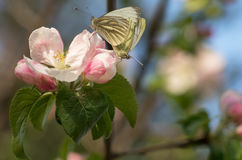 Butterflies are mating Royalty Free Stock Photos