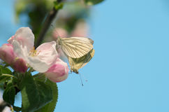 Butterflies are mating Stock Photography