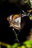 Butterflies are mating. Royalty Free Stock Photo