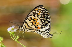 Butterflies are mating on flower/Papilio demoleus Royalty Free Stock Images