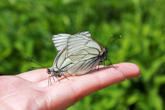 butterflies mating on the hand Stock Photos