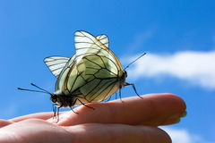 butterflies mating on the hand Royalty Free Stock Photos