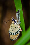 Butterflies mating Royalty Free Stock Images