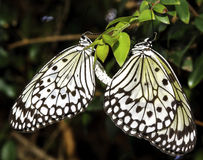 Butterflies Mating Royalty Free Stock Image