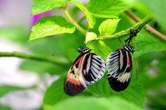 Butterflies mating upside down in aviary Royalty Free Stock Image