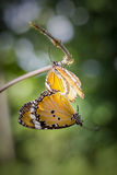 Butterflies mating. Butterflies are mating on the vine Stock Photo