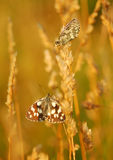 Butterflies in a meadow Stock Photo