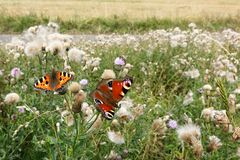 Butterflies in the meadow Royalty Free Stock Images