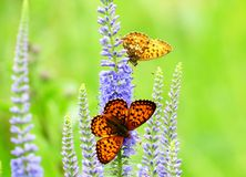 Butterflies on a meadow. Flit on blue flowers Royalty Free Stock Photo