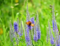 Butterflies on a meadow. Flit on blue flowers Stock Photos