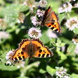 Butterflies on mint flowers Royalty Free Stock Images