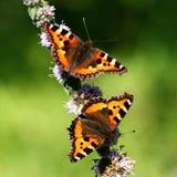 Butterflies on mint flowers Stock Image