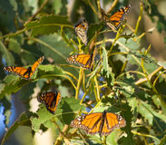 Butterflies Monarch. Just group of butterflies on the tree Royalty Free Stock Photos