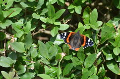 Butterflies and moths. Hedylidae, species between butterfly and moth. Germany Ostsee Royalty Free Stock Photography