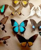 Butterflies. Natural history museum butterflies pinned to a board royalty free stock photography
