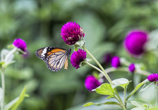 Butterflies for nectar on beautiful Stock Photo