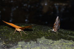 Butterflies in the night. Two butterflies sitting on a rock in the night, lights behind, in Malaysia Stock Photography
