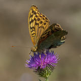 Butterflies nimfolidy Stock Images