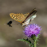 Butterflies nimfolidy Royalty Free Stock Photography