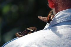 Butterflies on an old man. At the Australian Butterfly Sanctuary, Kuranda Royalty Free Stock Photo