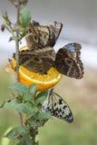 Butterflies on orange Royalty Free Stock Photos