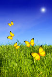 Butterflies over grass. Green grass and blue clear sky with sun flare and yellow butterflies flying all around Royalty Free Stock Image
