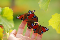 Butterflies on palm Stock Photo