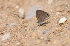 Butterflies perch on the ground,  thailand. White butterflies on sand blur Stock Photography