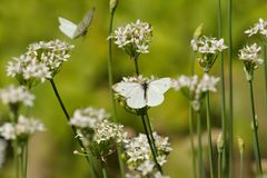 Butterflies Pieridae, white insects on white flowers of garlic Stock Photo