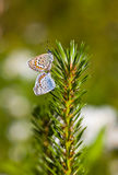 Butterflies on a pine branch Royalty Free Stock Image