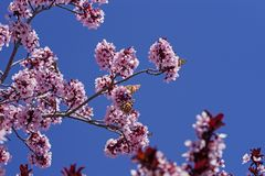 Butterflies On Pink Blossoms royalty free stock image