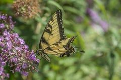 butterflies pipevine swallowtail fotografering för bildbyråer