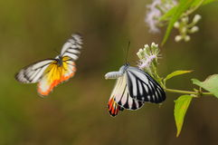 BUTTERFLIES PLAYING ON FLOWER Stock Photos
