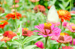 Butterflies pollinate zinnia flower in outdoor garden Royalty Free Stock Images
