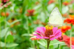Butterflies pollinate zinnia flower in outdoor garden Stock Photo