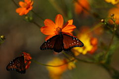 Butterflies on Poppies Stock Photos