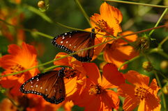 Butterflies on Poppies. Two Butterflies on Poppies Royalty Free Stock Photo